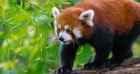 Сотрудника Московского зоопарка обучат «обнимашкам» с пандой