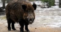 Полное свинство: по Перми носится жирный кабан и пугает прохожих
