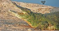 Четырехметрового крокодила поймали в Австралии