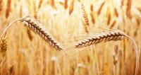 Власти Китая разрешили ввоз пшеницы из шести российских регионов