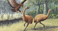 Стало известно, чем питались вымершие гигантские птицы моа