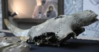 Найденные в Москве останки мамонтов передали в музей