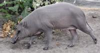 Надо исправить словари: британский свиновод вступился за честь свиней