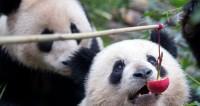 В Китае на Новый год для панд устроили праздничный ужин