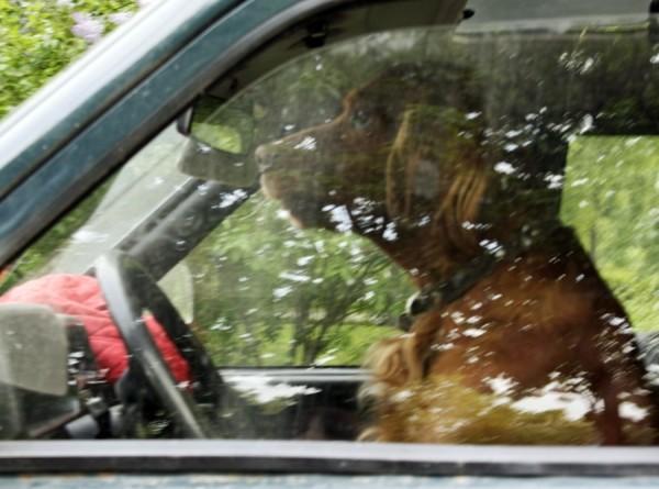 Собака прокатилась за рулем авто во время интервью о стрельбе
