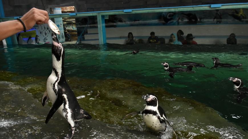 В Приморский океанариум привезли пингвинят Гумбольдта