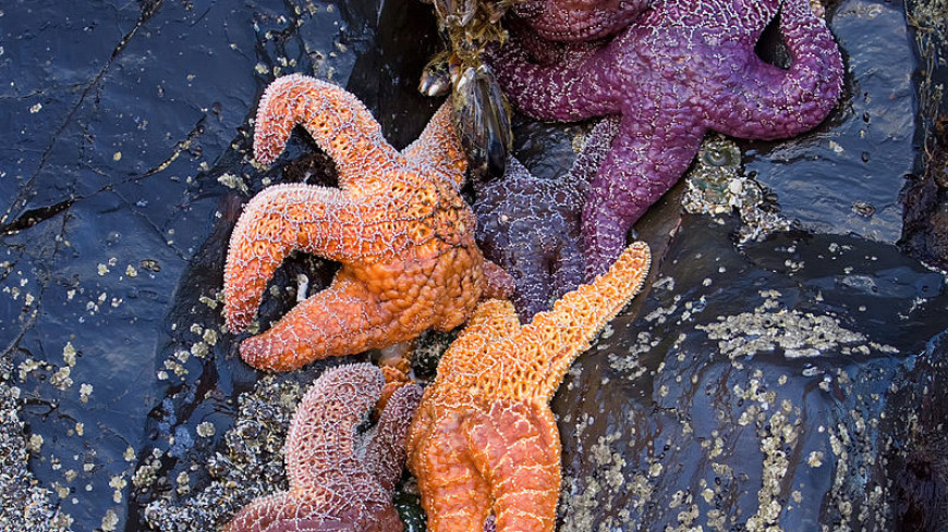 У морских звезд обнаружили хорошо развитые глаза