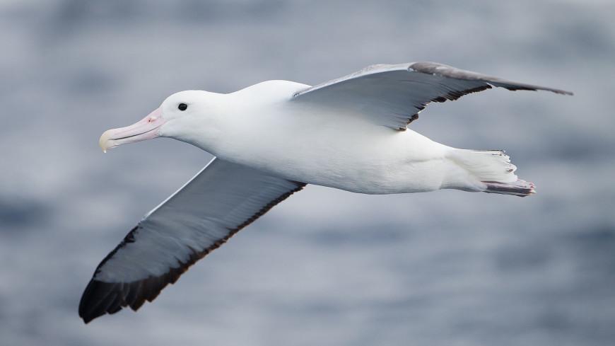 Самая старая самка альбатроса вновь вывела птенца в 67 лет