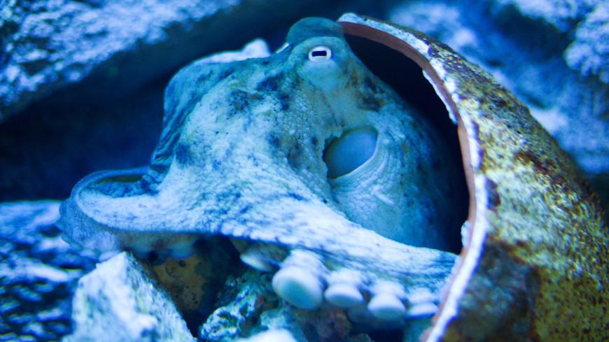 Биологи показали видео новорожденного ушастого осьминога