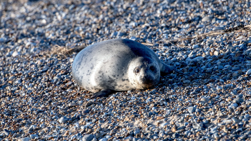 Детеныш тюленя остановил автомобильное движение в Шотландии