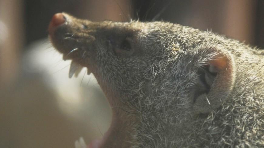 "Фото: Татьяна Константинова, ""«Мир24»"":http://mir24.tv/, крыса, зоопарк, крик, оскал"