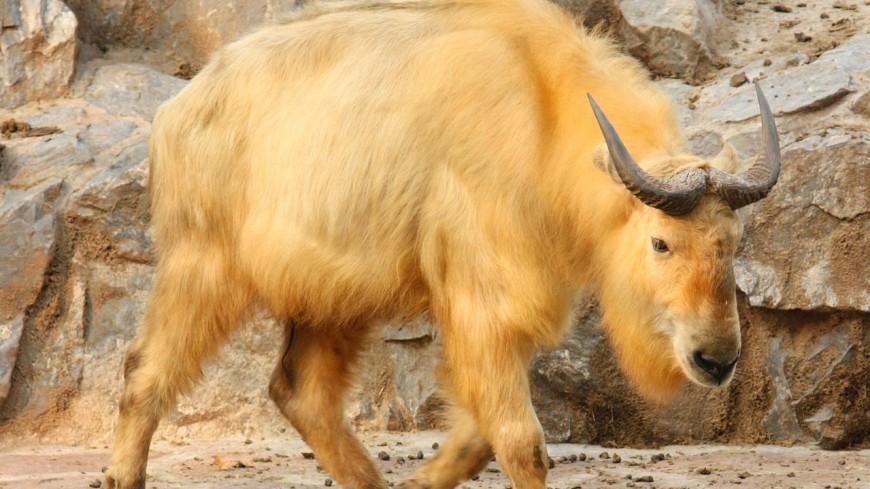 В Московском зоопарке родился новый сычуаньский такин