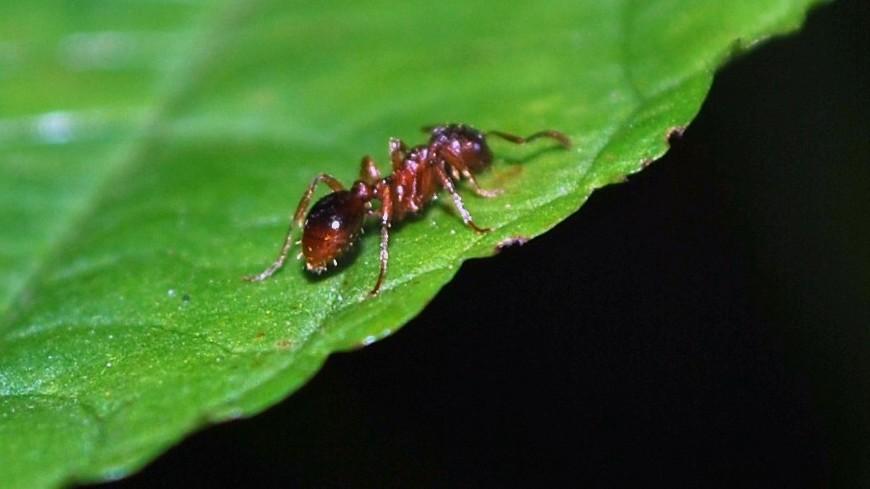 Хищные муравьи лечат раненых
