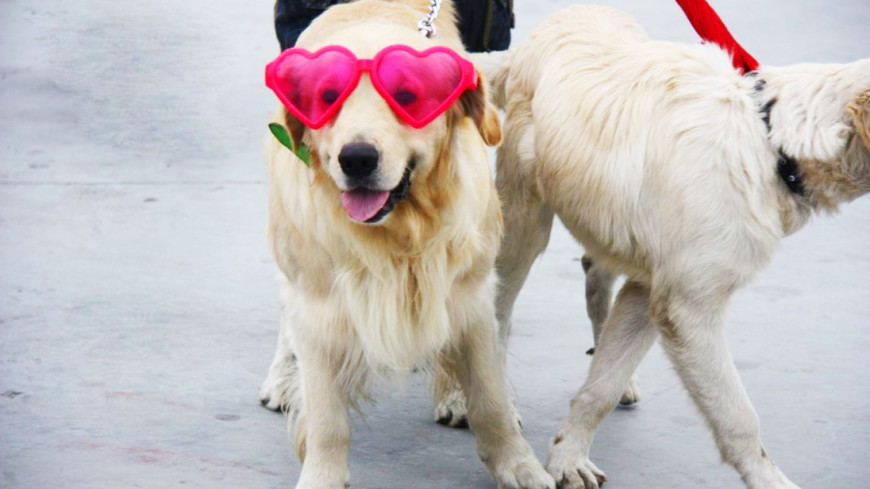 Карнавалят все: десятки собак в перьях и ярких нарядах прошлись по Рио