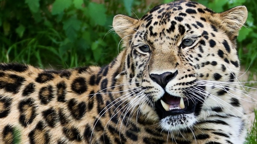 зоопарк, зоопитомник, животные, леопард,