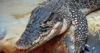 В подвале жилого дома в Петербурге нашли крокодила