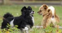 Бассет-гриффоны и коикерхондье: как выводят новые породы собак