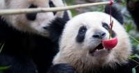 В канадском зоопарке три панды «растерзали» снеговика