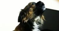 Сама серьезность: ворчливый пес стал «МИРовой» звездой