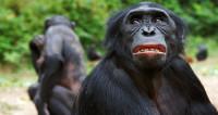 Обезьяны бонобо выбирают в друзей грубиянов и агрессоров
