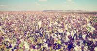«Стал качественнее и мягче»: в Азербайджане собрали небывалый урожай хлопка