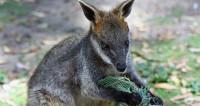 Полицейские спасли валлаби на скоростной трассе в Сиднее