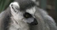 Лемуры сорвали съемки репортажа из зоопарка