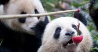 Малышам панд в китайском зоопарке официально дали имена