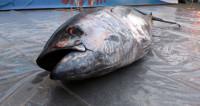 Чемпионат по метанию тунца в Австралии завершился бесславно