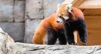 Мороз нипочем: панды из зоопарка Нью-Йорка встретили Новый год в снегу