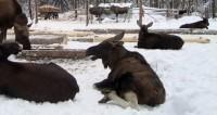 Туристы в Канаде спасли провалившегося в сугроб лося