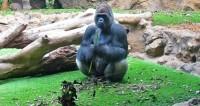 Умерла одна из старейших в мире горилл – 60-летняя Вила