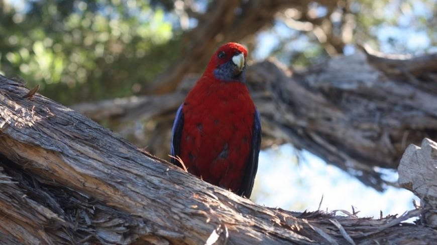 В Австралии завелись птицы-пироманы