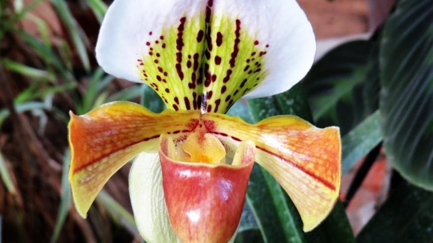 Редкая орхидея: ботсад МГУ наполнился ароматом малиново-яблочной карамели