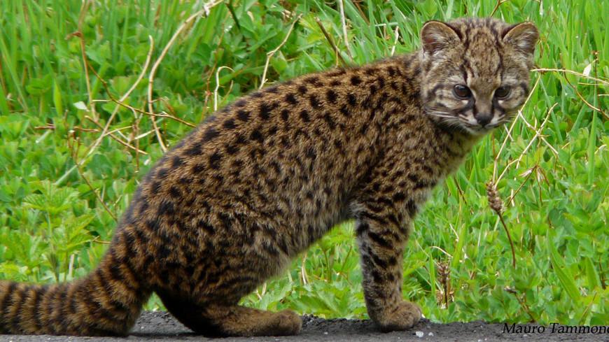 Чилийские кошки из Южной Америки передумали вымирать