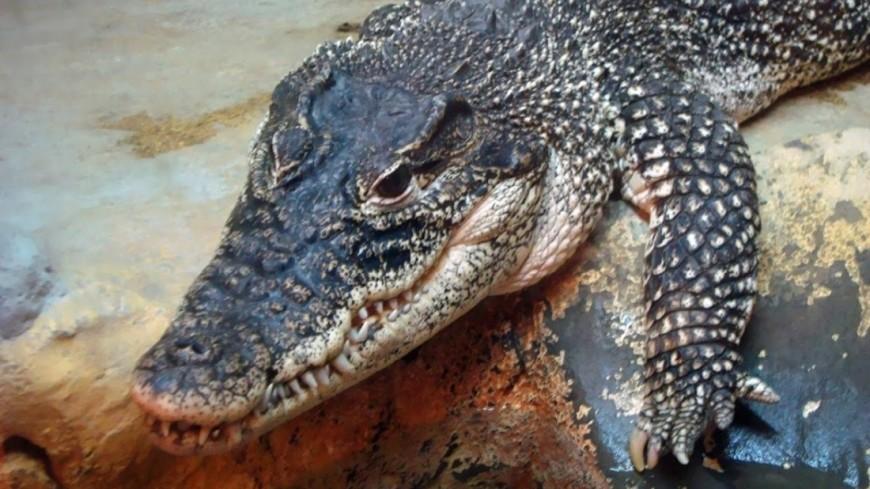 "Фото: Мария Попова, ""«Мир 24»"":http://mir24.tv/, крокодил"