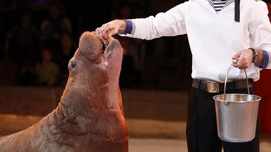 Петербургские биологи нашли сходство между моржами и людьми