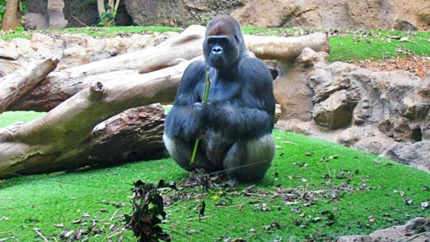 """Фото: Екатерина Дегтерева (МТРК «Мир») """"«Мир 24»"""":http://mir24.tv/, горилла, зоопарк, животные"""