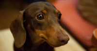 "© Фото: Елизавета Шагалова, ""МТРК «Мир»"":http://mir24.tv/, собака, такса"