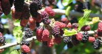 Путь шелковицы: почему тутовник называют «суперпродуктом»