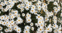 """австралия Фото: Елена Карташова, """"МТРК «Мир»"""":http://mirtv.ru/, ромашки, австралия, цветы"""