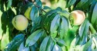 армения, фрукты, еда, персики