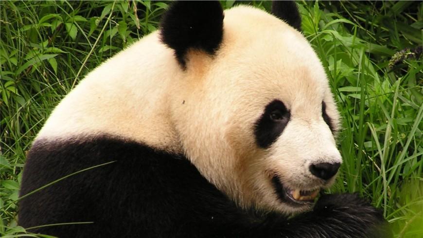 В Китае гигантская панда Цао-Цао родила близнецов