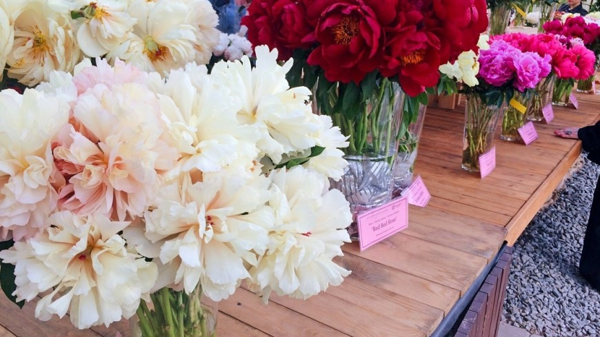 """Фото: Надежда Сережкина (МТРК «Мир») """"«Мир 24»"""":http://mir24.tv/, пионы, ботанический сад, аптекарский огород, цветы, растения, флора"""
