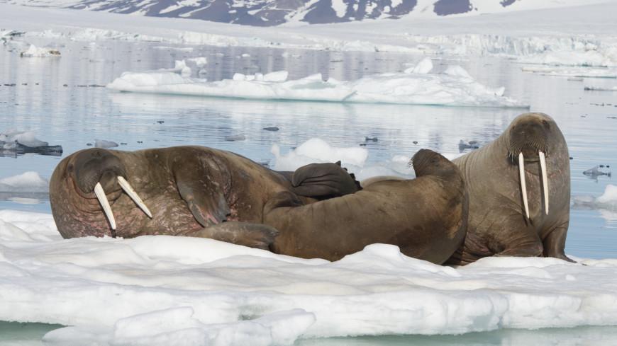 На Чукотке численность популяции моржей посчитают с помощью дронов