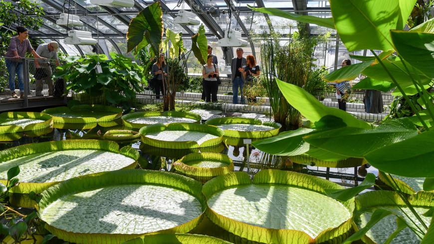 В Ботаническом саду в понедельник расцветет кувшинка с двухметровыми листьями