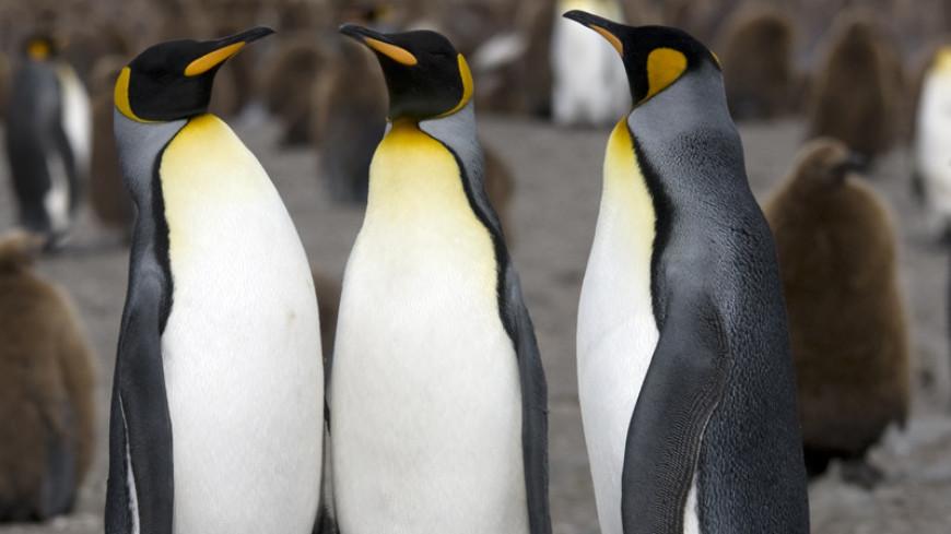Резкое вымирание королевских пингвинов признали необъяснимым