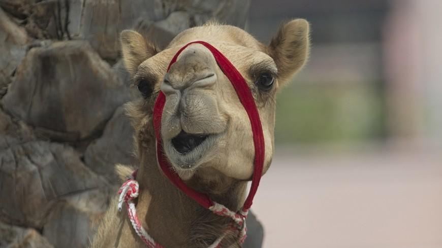 В Тульской области по скоростному шоссе носится верблюд (ВИДЕО)