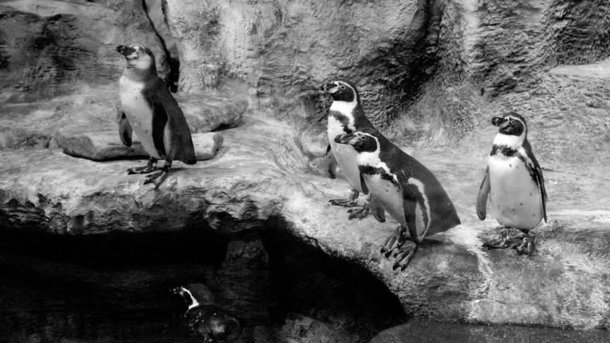 Пингвин в Крокус Сити Океанариум