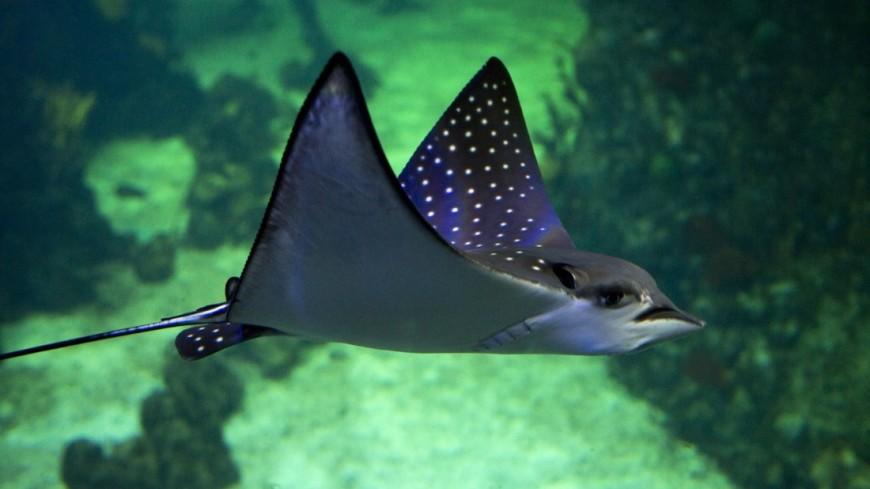 Скат в аквариуме Крокус Сити Океанариум
